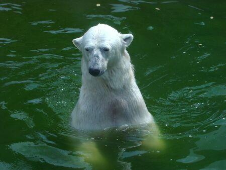 Polar bears (Ursus maritimus) floats in water Stock Photo