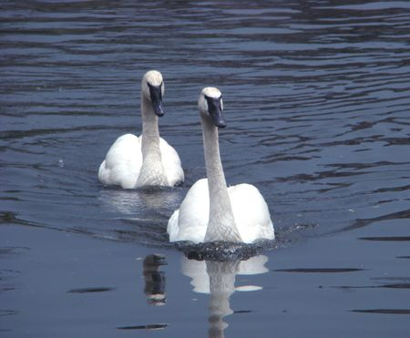 Pair swans of trumpeters (Cygnus buccinator) float on a smooth surface of a pond Stock Photo