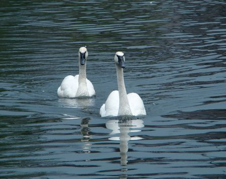 Pair swans of trumpeters (Cygnus buccinator) float on a smooth surface of a pond photo