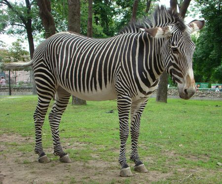 savannas: General view of a zebra (Equus). These animals live in savannas and foothills of Africa.