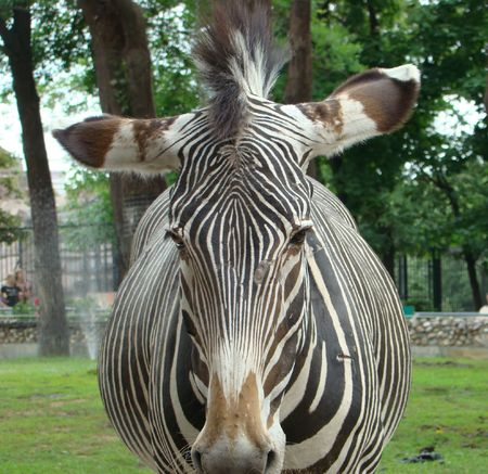 Zebra (Equus) of a fullface. These animals live in savannas and foothills of Africa. Stock Photo