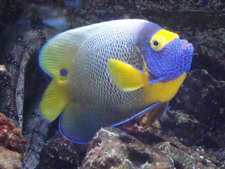 pomacanthus: Fish-angel with a yellow forehead (Pomacanthus xanthomet�pon)