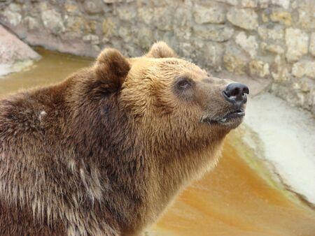arctos: Portrait of a brown bear Ursus arctos Stock Photo