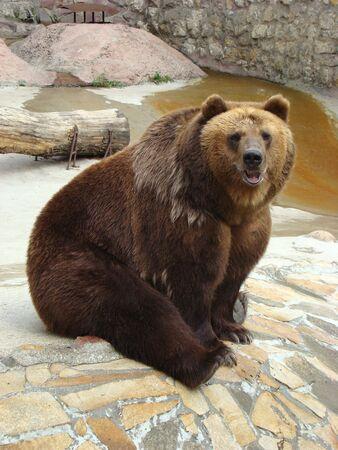 arctos: Costa rocciosa in cui l'orso bruno Ursus arctos siede