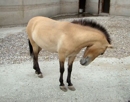 differs: Horse Przhevalskogo Equus przewalskii differs from a house horse a short standing mane and larger head