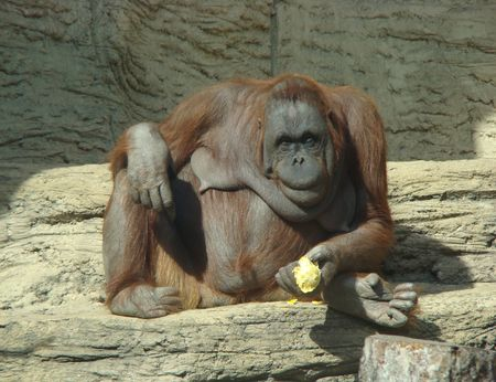 Orang-utan Pongo pygmaeus sits and eats an orange Stock Photo