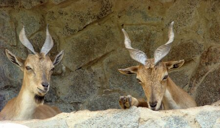 Young mountain goats with twisted horns Capra falconeri Stock Photo