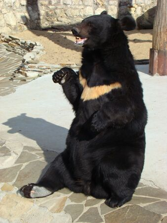 Himalaya bear, ussurijsky bear Ursus thibetanus with a white spot on a breast