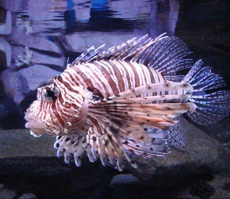 dendrochirus zebra: krylatka - zebra Dendrochirus zebra a sea fish