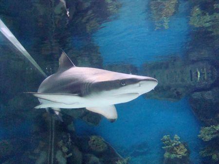 shark Carcharhinus melanopterus