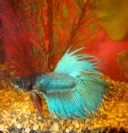 possesses: fish cock Betta splendens possesses fighting character and beautiful turquoise painting