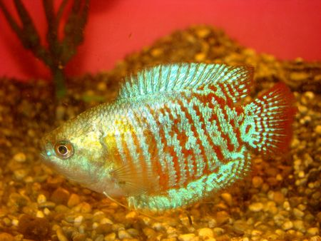 aquarian fish ljalius Colisa lalia whis red and blue strips photo
