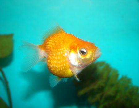 Carassius auratus var. Pearl Scale Goldfish