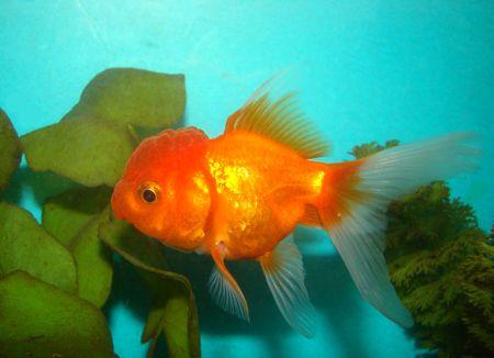 Carassius auratus var. goldfish lion's head Stock Photo - 3287854