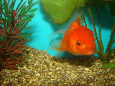 Carassius auratus var. goldfish lion's head Stock Photo - 3287858