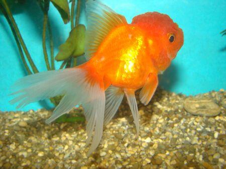 Carassius auratus var. goldfish lion's head Stock Photo - 3287856