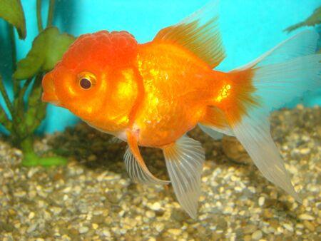 Carassius auratus var. goldfish lions head
