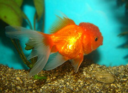 Carassius auratus var. goldfish lion's head Stock Photo - 3287852