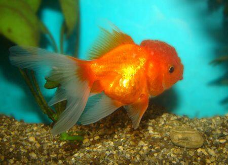 Carassius auratus var. goldfish lion's head Stock Photo - 3287852