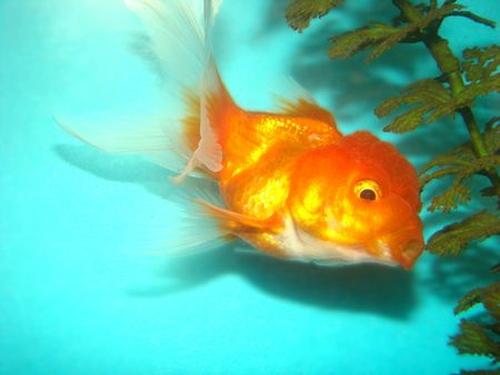 Carassius auratus var. goldfish lion's head Stock Photo - 3287855