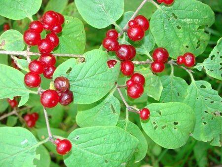 Honeysuckle ordinary or wood Lonicera xylosteum a bush with red berries photo