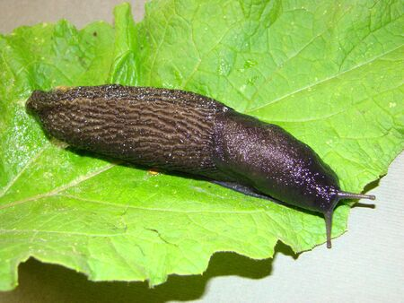 Black slug (Limax cinereoniger). Differs in the big sizes, to 20 see also excellent appetite.
