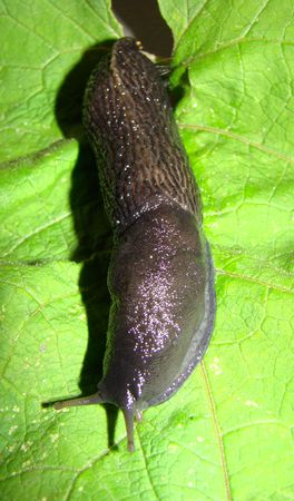 differs: Black slug (Limax cinereoniger). Differs in the big sizes, to 20 see also excellent appetite.
