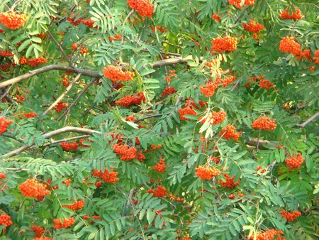 Branches of a mountain ash with heavy clusters red berries Stock Photo
