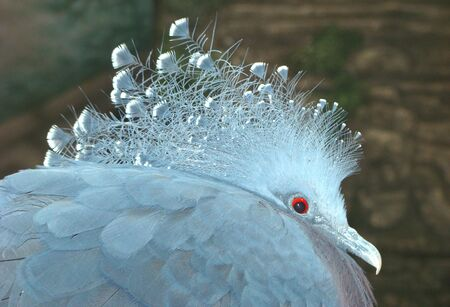 centimetres: Crowned pigeon Goura coronata, largest of pigeon birds, to 75 centimetres, with a cop on a head