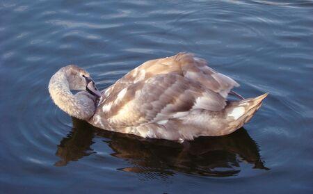 cygnus olor: Baby bird of a swan shipuna, Cygnus olor