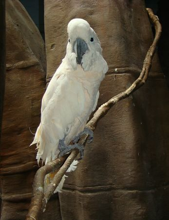 alba: White cockatoo (cacatua alba).                                Stock Photo