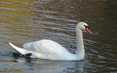Swan shipun Cygnus olor