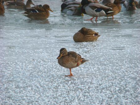 Grey ducks on ice of the frozen pond