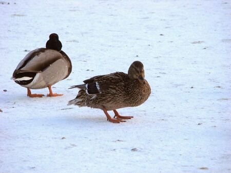 membranes: Grey duck and drake on ice of the frozen pond
