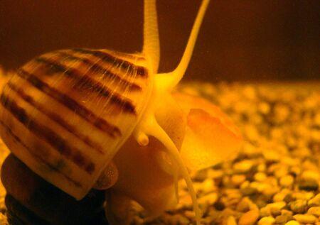 freshwater snail of ampulyariya Pomacea bridgesii in a home aquarium Stock Photo