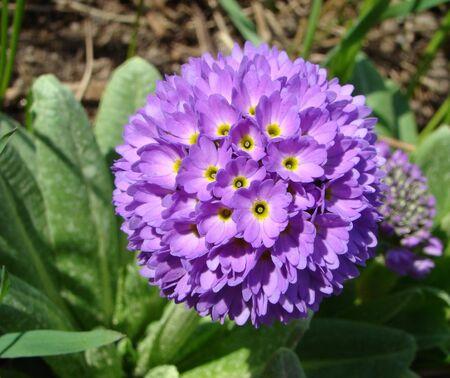 Primula denticulata Primrose is serrulate beautiful flower