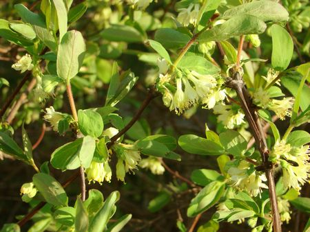honeysuckle of Lonicera is a fruit bush, grows in gardens