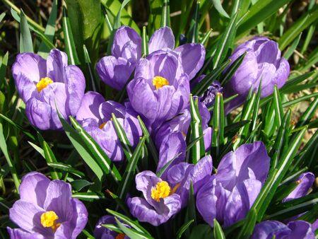 Saffron of Crocus sort of grassy perennials of family Iridaceae Stock Photo