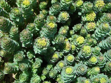 Rodiola pink or gold root of Rhodiola rosea medical plant Stock Photo
