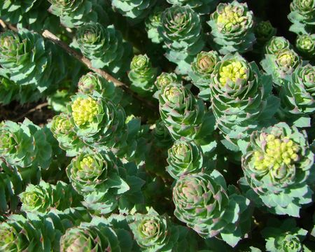 rosea: Rodiola pink or gold root of Rhodiola rosea medical plant Stock Photo