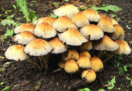 lamellar: mushrooms growing together by a heap under a tree