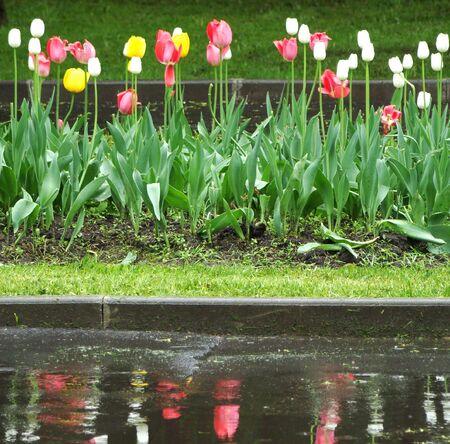 reflexion: Cama con tulipanes y su reflexi�n en una piscina Foto de archivo
