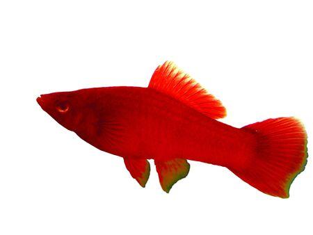 fish tail: Carries a sword red Xiphophorus hellerii simple aquarium fish