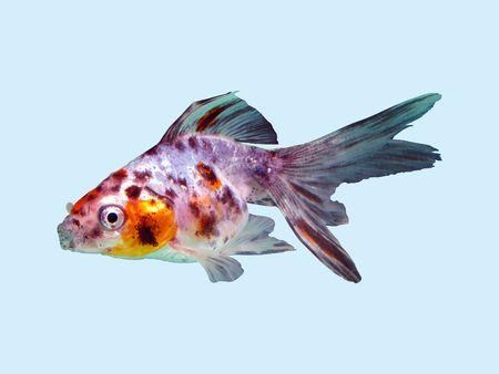 goldfish printed cotton Carassius auratus plant-breeding form
