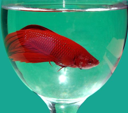 Cockerel or fighter fish Betta splendens in glass with water photo