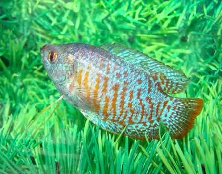 swallowing:                           Body flat extended colouring striped orange strips alternate blue breathes exclusively atmospheric air swallowing its surface aquarium  special device breath allows acquire oxygen usual fishes have some colour breeds receive      Stock Photo