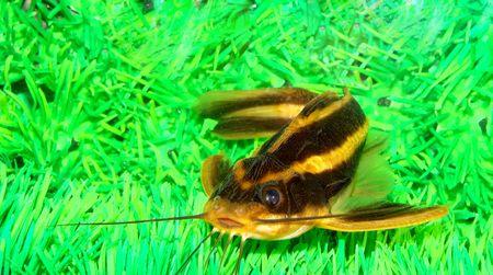centimetres: Catfish striped (Platidoras costatus) Large enough original catfish, suitable for the maintenance in a capacious demonstration aquarium                                Stock Photo