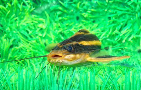 적합: Catfish striped (Platidoras costatus) Large enough original catfish, suitable for the maintenance in a capacious demonstration aquarium                                스톡 콘텐츠