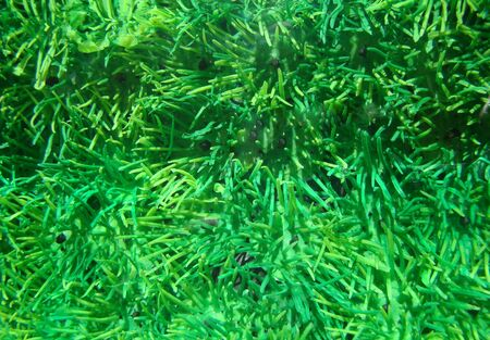 Aquarium with green seaweed behind. A background, a structure Stock Photo