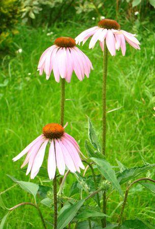medical  plant: Ekhinaceya de Echinacea es una planta decorativa y m�dicos de la familia de las Asteraceae